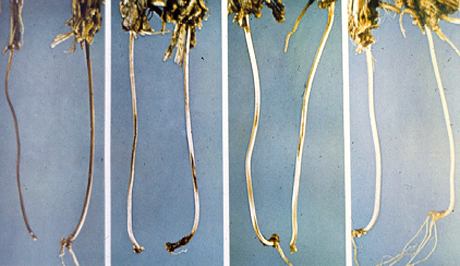 Diagnosis of Common Root Rot of Wheat and Barley