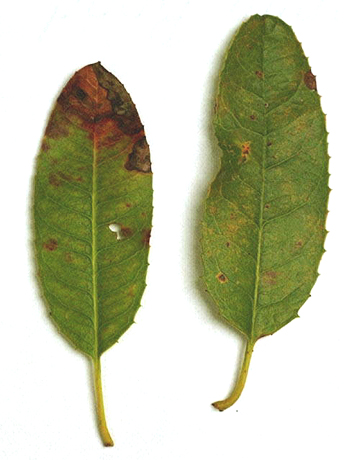 Sudden Oak Death and Associated Diseases Caused by <i>Phytophthora ramorum</i>