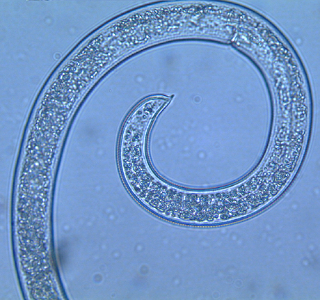 Diagnosis of <i>Peltamigratus christiei</i>, a Plant-Parasitic Nematode Associated with Warm-Season Turgrasses in the Southern United States