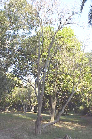 Mango Dieback and Gummosis in Sindh, Pakistan Caused by <i>Lasiodiplodia theobromae</i>