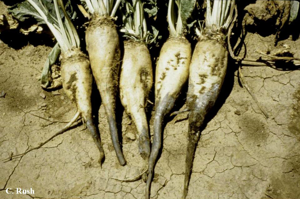 Identifying and Distinguishing Seedling and Root Rot Diseases of Sugar Beets