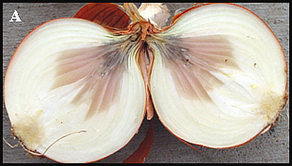 Detection and Identification of Botrytis Species ... Onion