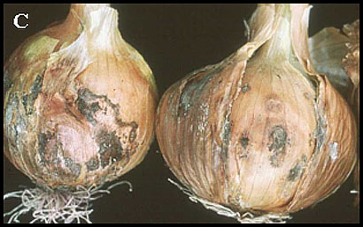 Detection and Identification of <i>Botrytis</i> Species Associated with Neck Rot, Scape Blight, and Umbel Blight of Onion