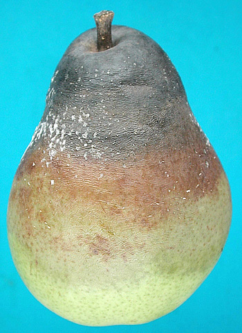 Postharvest Fruit Rots in d'Anjou Pears Caused by <i>Botrytis cinerea</i>, <i>Potebniamyces pyri</i>, and <i>Sphaeropsis pyriputrescens</i>