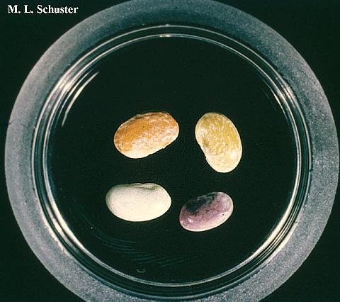 Bacterial Diseases of Dry Edible Beans in the Central High Plains