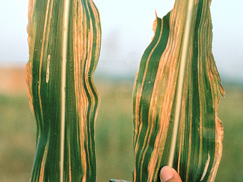 Brown Stripe Downy Mildew (<i>Sclerophthora rayssiae</i> var. <i>zeae</i>) of Maize