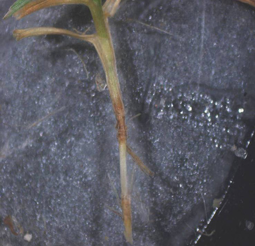 Pythium Root Dysfunction of Creeping Bentgrass
