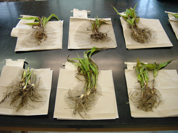 Sampling for Plant-parasitic Nematodes in Corn Strip Trials Comparing Nematode Management Products