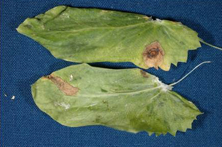 Ascochyta Blight of Peas