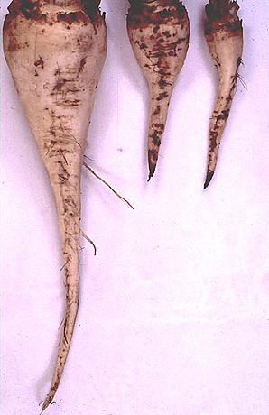 Aphanomyces Root Rot on Sugar Beet