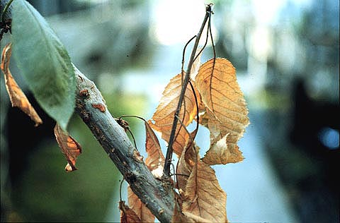 Eutypa Dieback of Grapevine and Apricot