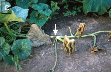 Phytophthora Blight on Pumpkin