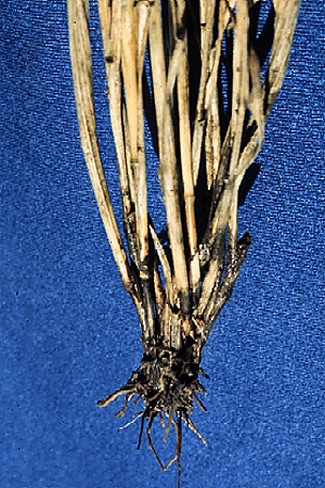 Take-all Disease on Wheat, Barley, and Oats