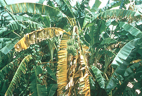 Panama Disease: A Classic and Destructive Disease of Banana