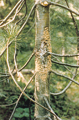 White Pine Blister Rust