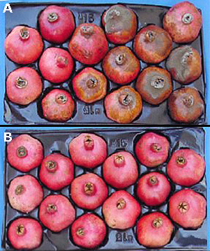 Impact of Scholar (A New Post-harvest Fungicide) on the California Pomegranate Industry