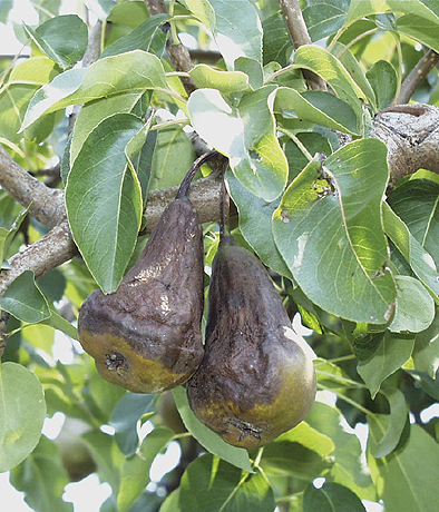 Temperature Declines During Storms and Irrigation May Contribute to Fire Blight Infection of Pear Fruit