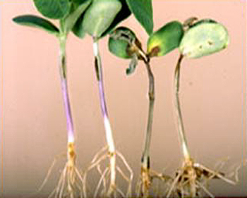 Evaluation of Soybean Differentials for Their Interaction with <i>Phytophthora sojae</i>