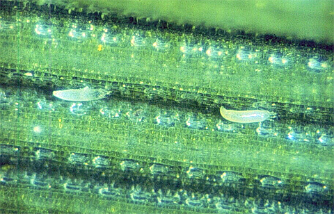Spread of Wheat Curl Mite and Wheat Streak Mosaic Virus is Influenced by Volunteer Wheat Control Methods