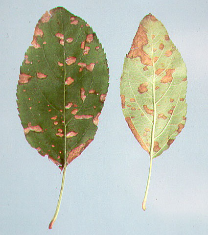 Differentiation of Isolates of <i>Glomerella cingulata</i> and <i>Colletotrichum</i> spp. Associated with Glomerella Leaf Spot and Bitter Rot of Apples Using Growth Rate, Response to Temperature, and Benomyl Sensitivity
