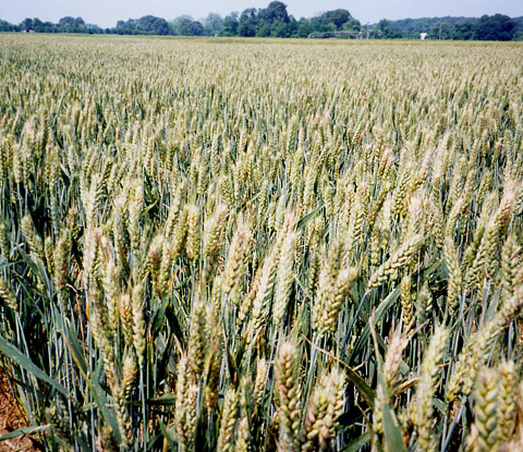 The Southeastern U.S. Fusarium Head Blight Epidemic of 2003