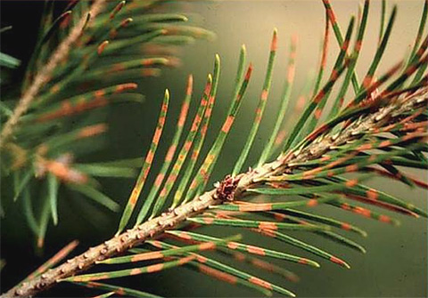 Effects of Azoxystrobin Application Rate and Treatment Interval on the Control of <i>Rhabdocline</i> <i>pseudotsugae</i> on Douglas-fir Christmas Trees