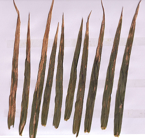 Comparing Image Format and Resolution for Assessment of Foliar Diseases of Wheat