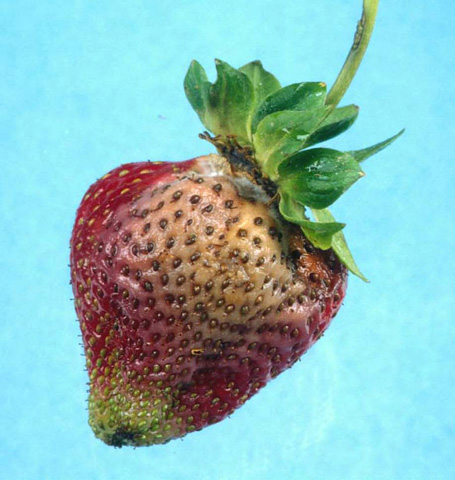Efficacy of Azoxystrobin, Pyraclostrobin, Potassium Phosphite, and Mefenoxam for Control of Strawberry Leather Rot Caused by <i>Phytophthora cactorum</i>