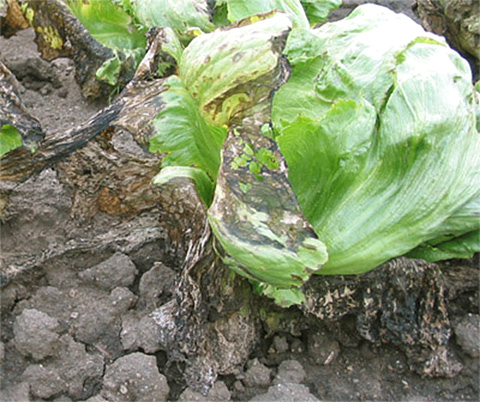 Evaluating the Efficacy of Commercial Products for Management of Bacterial Leaf Spot on Lettuce