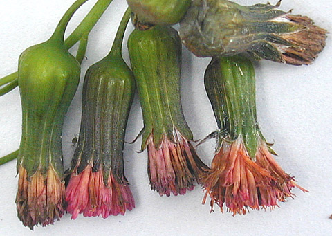 Host Range of <i>Itersonilia perplexans</i> and Management of Itersonilia Petal Blight of China Aster