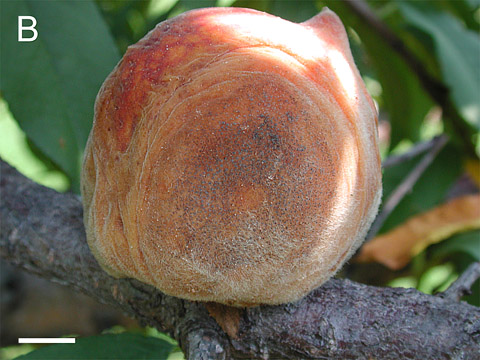 Identifying and Characterizing Summer Diseases on 'Babygold' Peach in South Carolina
