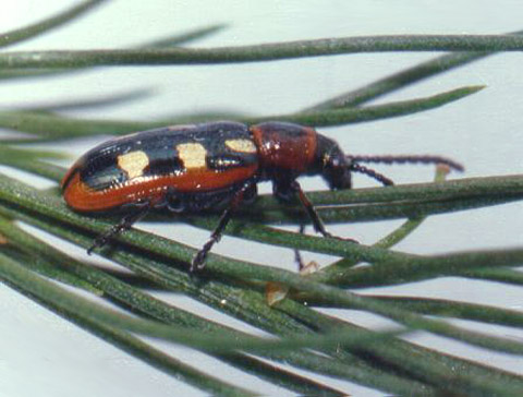 Toxicity and Field Efficacy of Acetamiprid on Asparagus Beetle