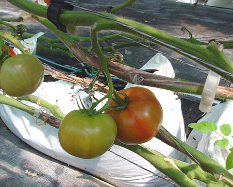 Managing <i>Botrytis</i> Gray Mold in Greenhouse Tomatoes Using Traditional and Bio-Fungicides