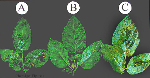 Low-Level Copper Plus Chitosan Applications Provide Protection Against Late Blight of Potato