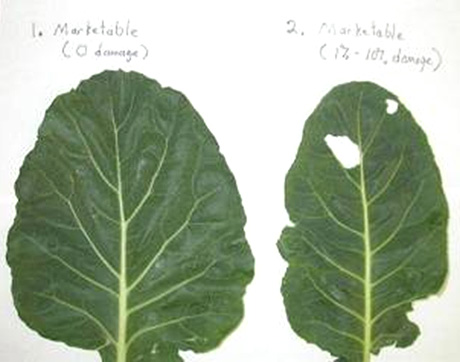 Field Efficacy of Insecticides for Control of Lepidopteran Pests on Collards in Virginia
