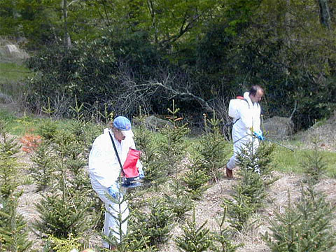 Control of Phytophthora Root Rot in Field Plantings of Fraser Fir with Fosetyl-Al and Mefenoxam