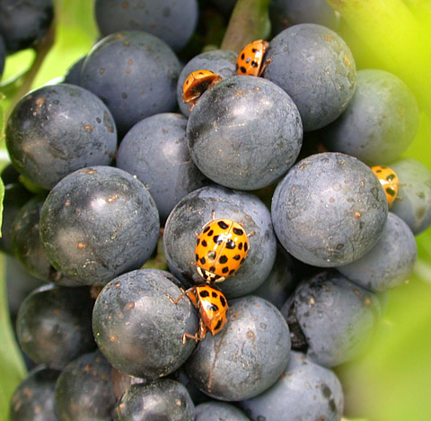 Efficacy of Selected Insecticides for Management of the Multicolored Asian Lady Beetle on Wine Grapes Near Harvest