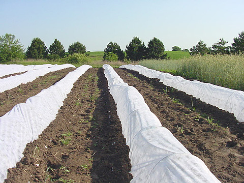 Effect of Row Covers on Suppression of Bacterial Wilt of Muskmelon in Iowa