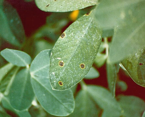 Management of Early Leaf Spot of Peanut as Affected by Fungicide and Date of Spray Program Initiation