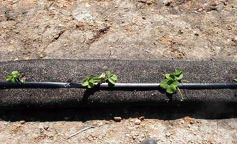 Control of Strawberry Black Root Rot with Compost Socks