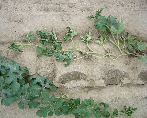Suppression of Fusarium Wilt of Watermelon Enhanced by Hairy Vetch Green Manure and Partial Cultivar Resistance