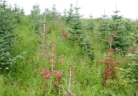 Phytophthora Root Rot and Stem Canker Found on Nordmann and Subalpine Fir in Norwegian Christmas Tree Plantations