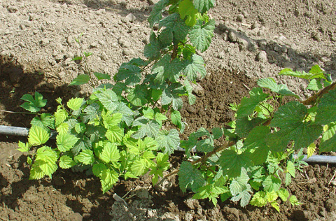 Occurrence of Viroids in Commercial Hop (<i>Humulus lupulus</i> L.) Production Areas of Washington State