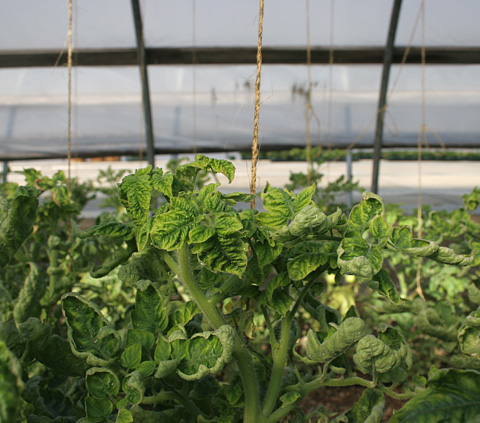 First Report of <i>Tomato yellow leaf curl virus</i> in Greenhouse Tomatoes in Kentucky