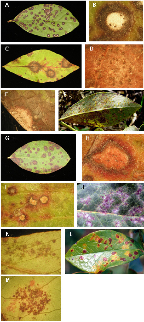 Occurrence and Prevalence of Foliar Diseases on Blueberry in Georgia