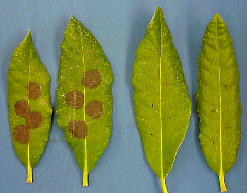 Evaluation of Chemical Agents for the Control of <i>Phytophthora ramorum</i> and Other Species of <i>Phytophthora</i> on Nursery Crops