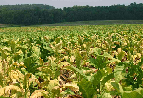 Clarifying the Source of Black Shank Resistance in Flue-cured Tobacco