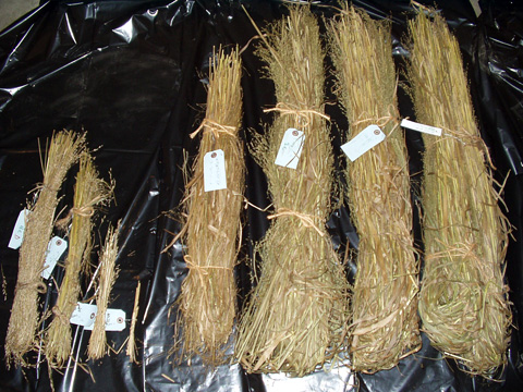 Biomass Yield Reductions in Switchgrass Due To Smut Caused by <i>Tilletia maclaganii</i>