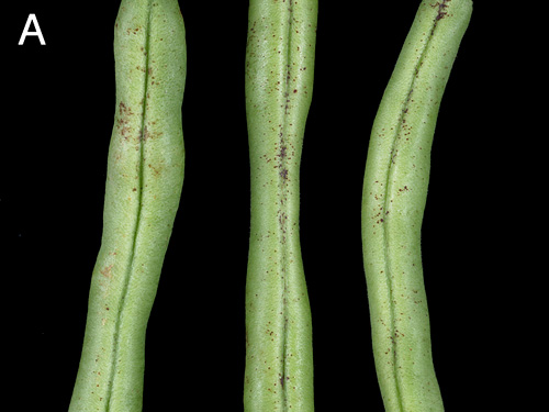 <i>Alternaria alternata</i> and <i>Plectosporium tabacinum</i> on Snap Beans: Pathogenicity, Cultivar Reaction, and Fungicide Efficacy