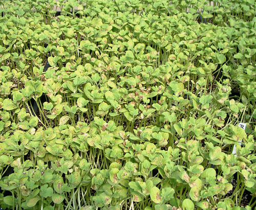 Management of Transplant House Spread of <i>Acidovorax avenae</i> subsp. <i>citrulli</i> on Cucurbits with Bactericidal Chemicals in Irrigation Water